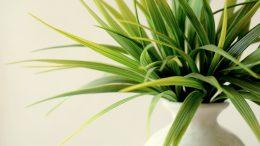 entretien dracaena, entretien plante verte, plante intérieur, plante verte, entretien plante d'intérieur